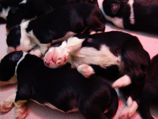 bearded collie puppies 25032017 3
